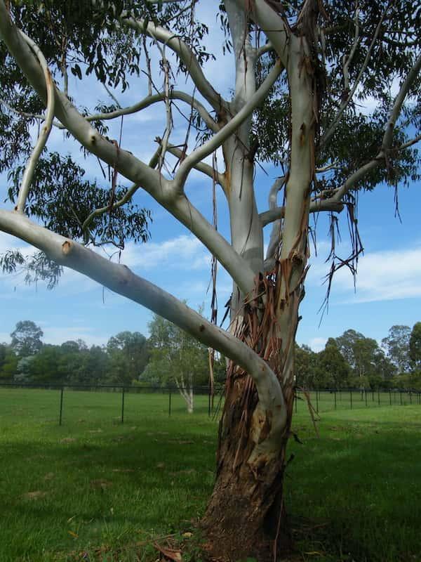 Eucalyptus saligna photo