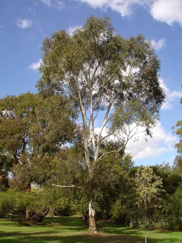 Eucalyptus scoparia photo