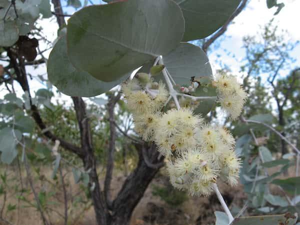 Eucalyptus shirleyi photo