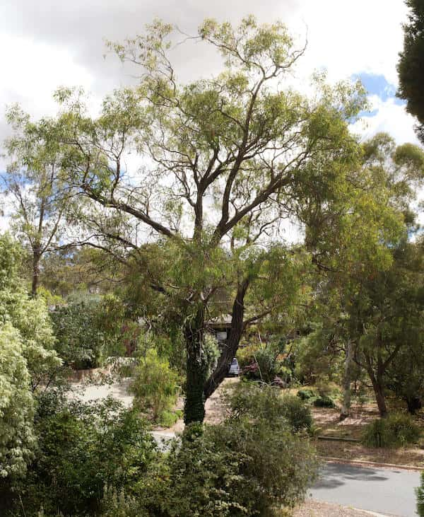 Eucalyptus sideroxylon photo