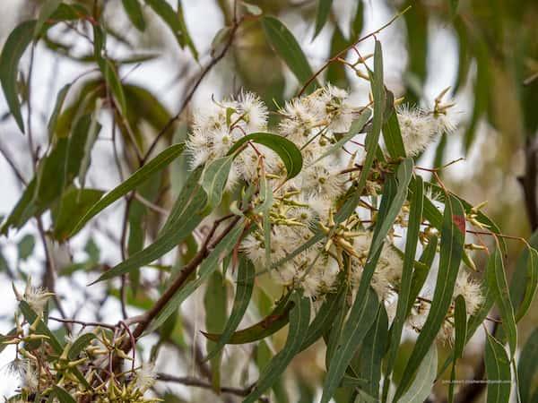 Eucalyptus tereticornis photo