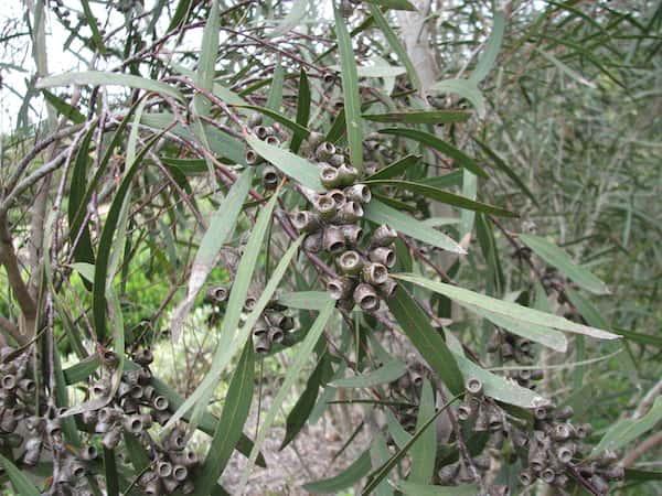 Eucalyptus viridis photo