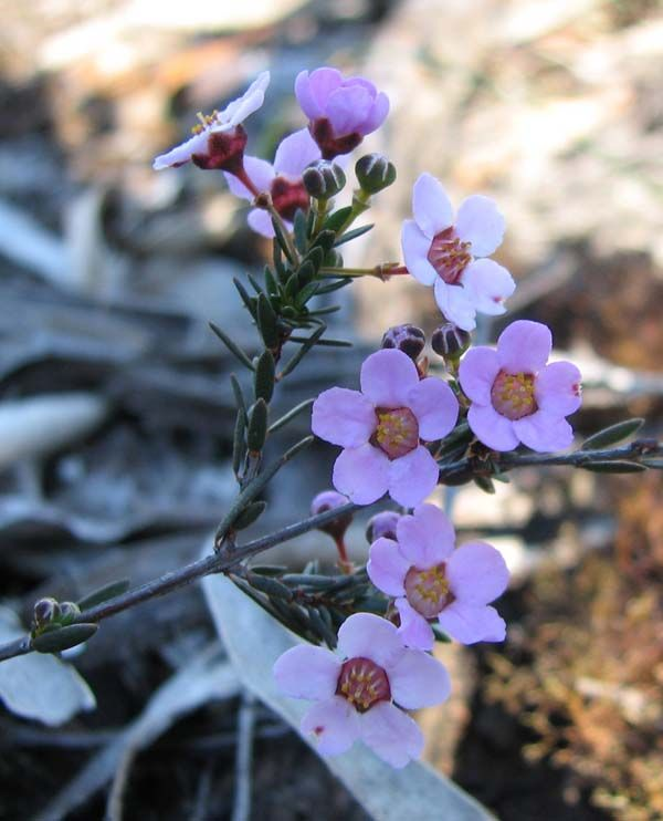 Euryomyrtus ramosissima photo