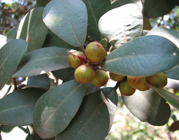 Ficus platypoda photo