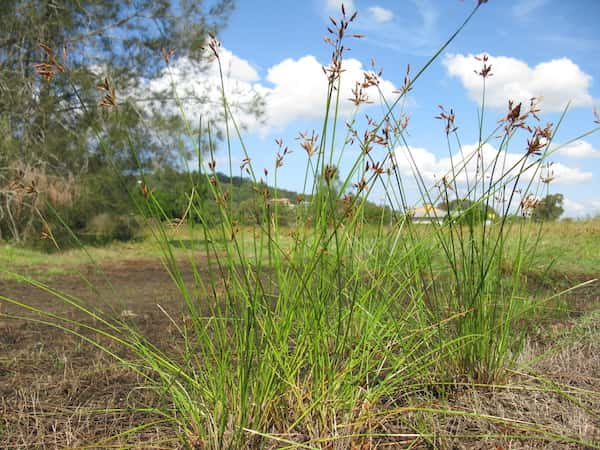 Fimbristylis ferruginea photo