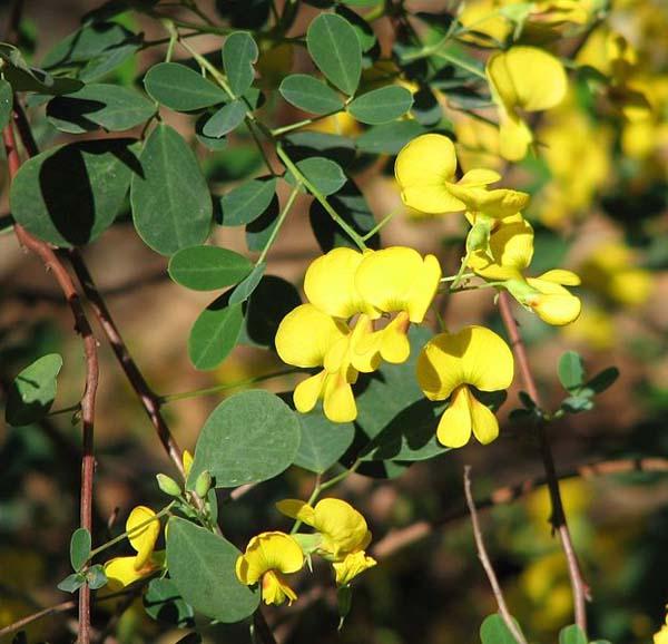 Goodia lotifolia photo