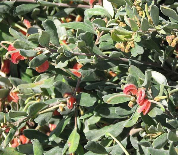 Grevillea arenaria photo