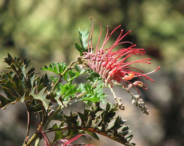 Grevillea bipinnatifida photo