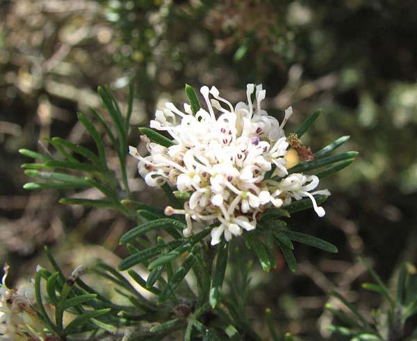 Grevillea crithmifolia photo
