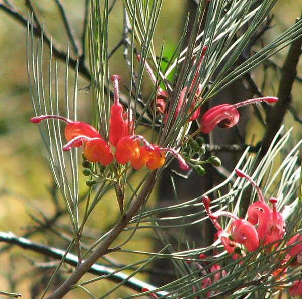 Grevillea erectiloba photo