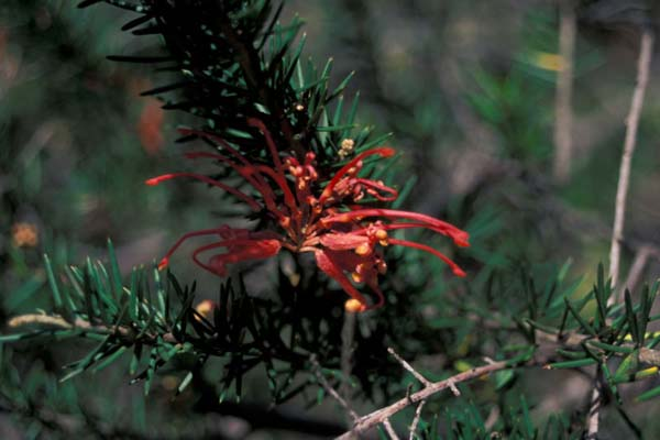 Grevillea juniperina photo