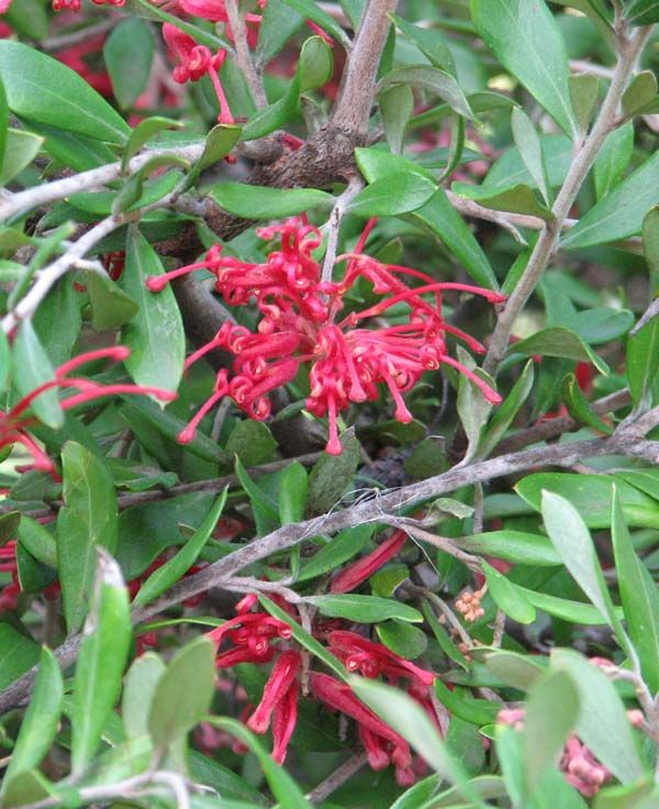 Grevillea oleoides photo