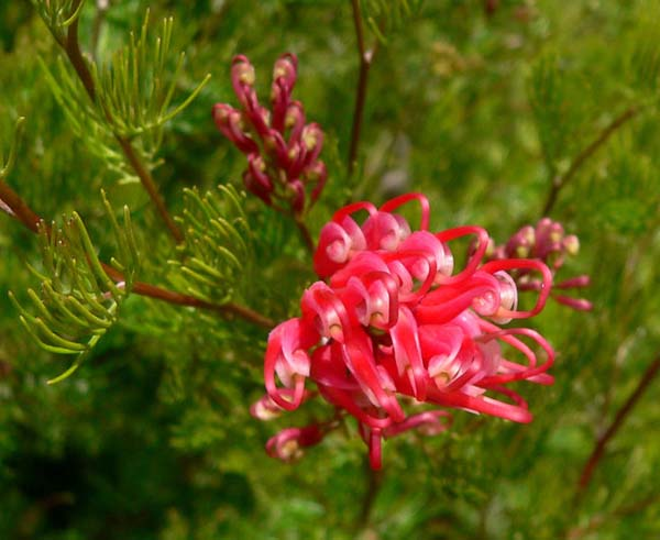 Grevillea fililoba photo