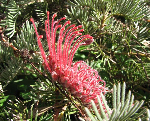 Grevillea thyrsoides photo