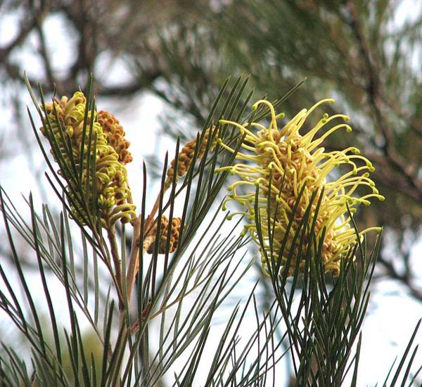 Grevillea whiteana photo