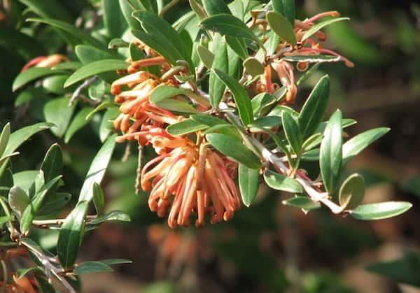 Grevillea 'Apricot Charm' photo