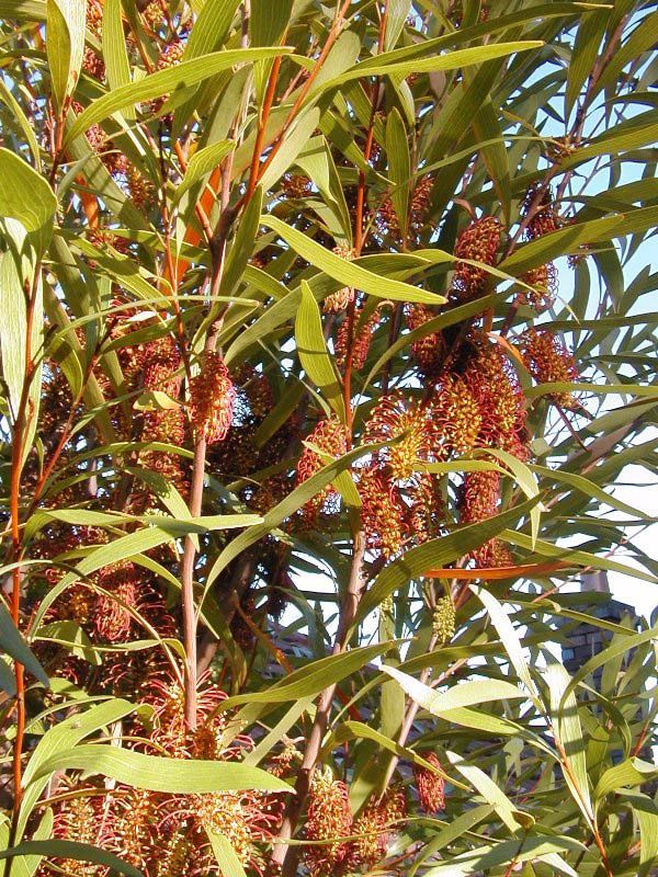 Hakea archaeoides photo