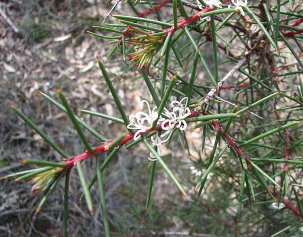 Hakea decurrens photo