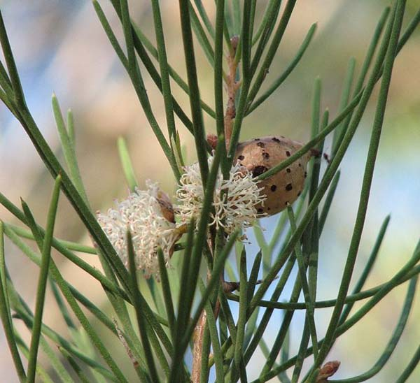 Hakea drupacea photo