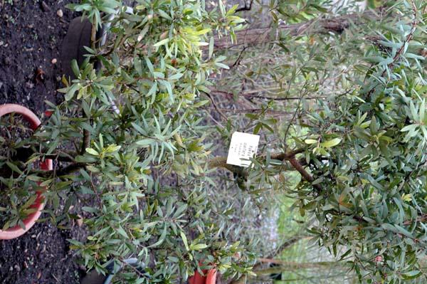 Hakea oleifolia photo