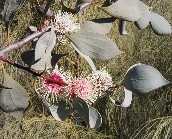 Hakea petiolaris photo