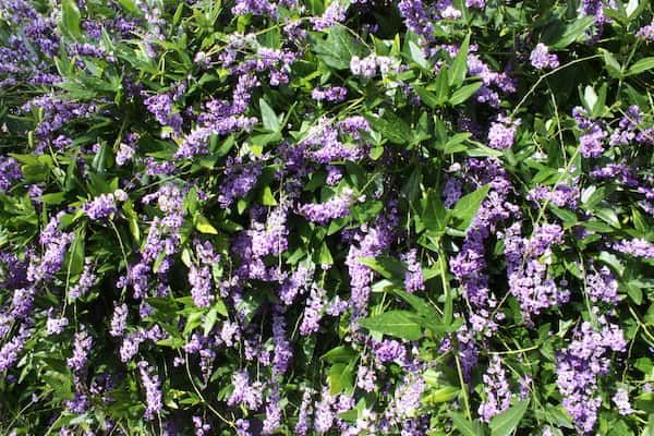 Hardenbergia comptoniana photo
