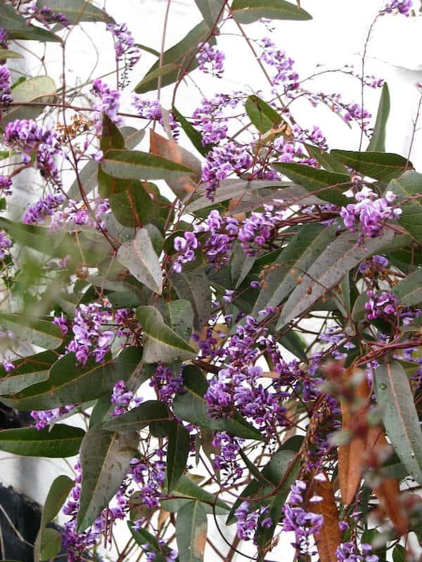 Hardenbergia violacea photo
