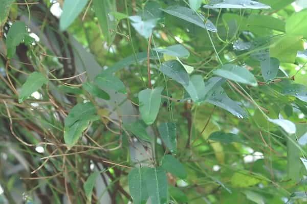 Hardenbergia violacea 'Happy Wanderer' photo