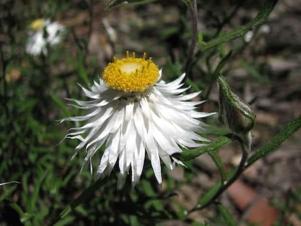 Helichrysum leucopsideum photo