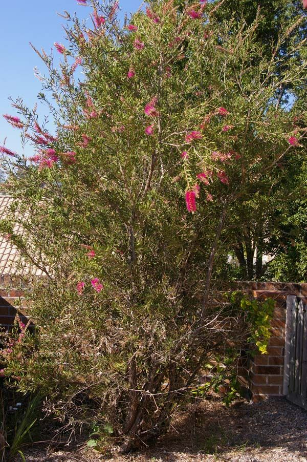Callistemon 'Lavender Showers' photo