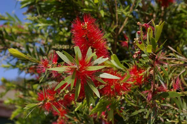 Callistemon viminalis 'Wildfire' photo