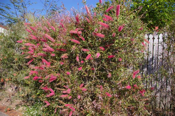 Callistemon 'Taree Pink' photo