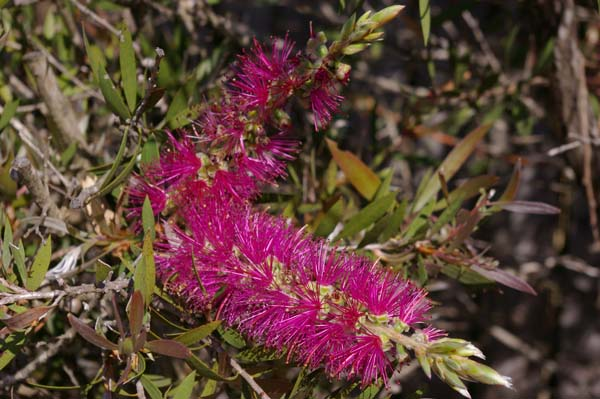 Callistemon 'Purple Splendour' photo