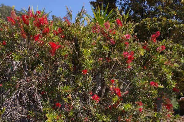 Callistemon viminalis 'Rose Opal' photo