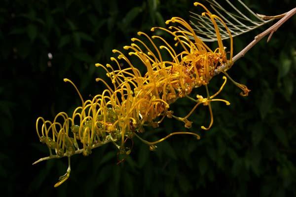 Grevillea 'Honey Gem' photo