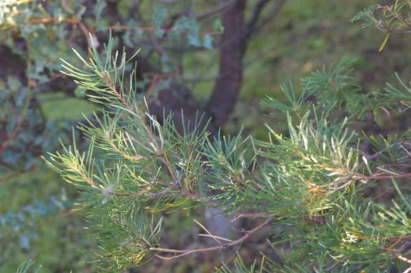 Banksia spinulosa photo