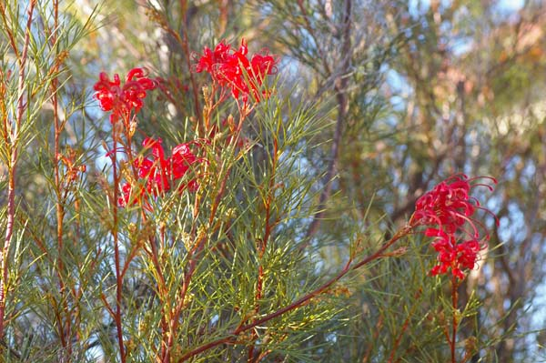 Grevillea 'Bon Accord' photo