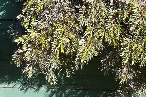 Grevillea banksii prostrate photo