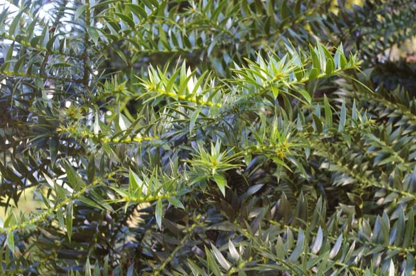 Araucaria bidwillii photo