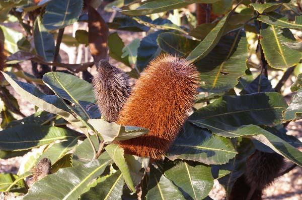 Banksia robur photo