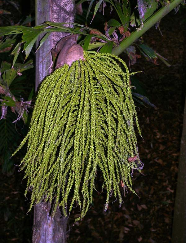 Caryota rumphiana photo