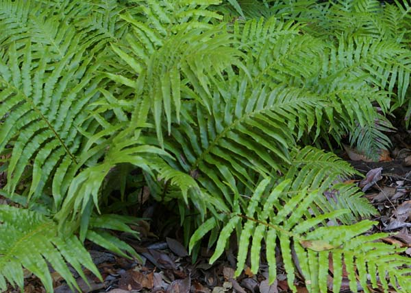Blechnum cartilagineum photo