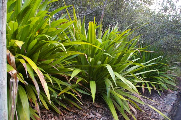 Doryanthes palmeri photo