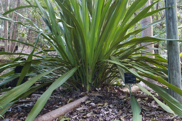 Doryanthes excelsa photo