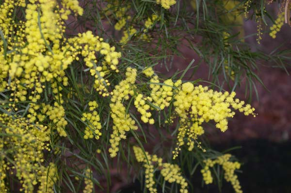 Acacia fimbriata photo