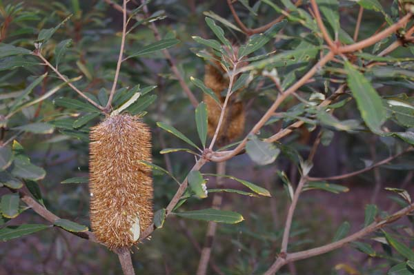 Banksia oblongifolia photo