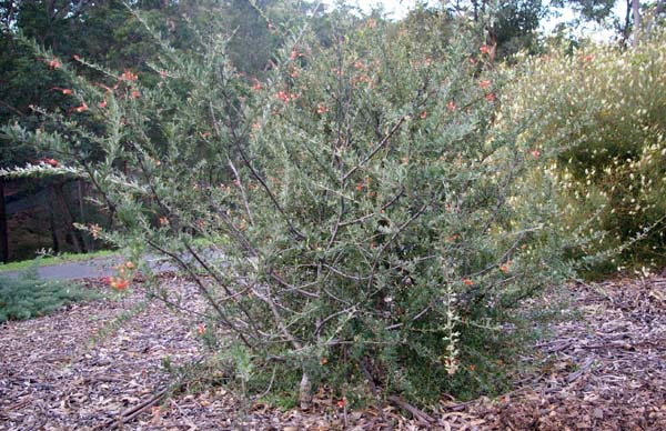 Grevillea tripartita photo