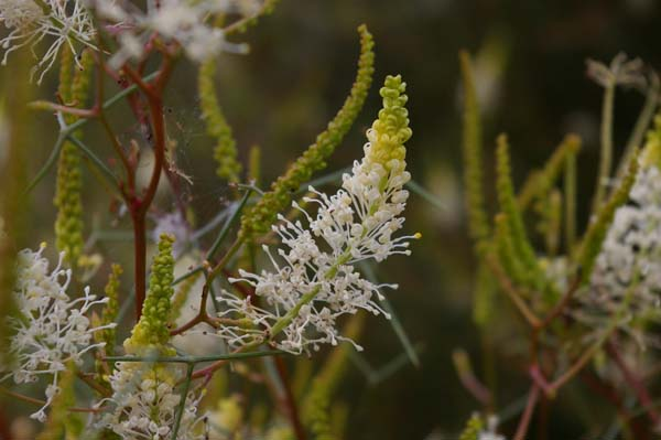 Grevillea intricata photo