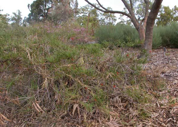 Grevillea nudiflora photo