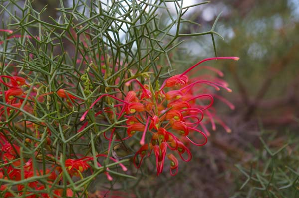 Grevillea dielsiana photo
